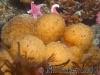 tunicate