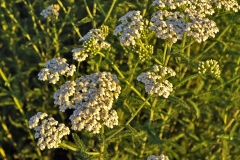 Medicinal Plants of the Great Plains