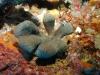 Cacospongia mycofijiensis (sponge) and nudibranch predator (Chromodoris lochi) - Tyler Johnson